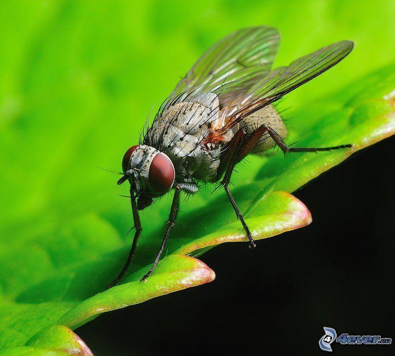 Fliege, Blatt, Insekten