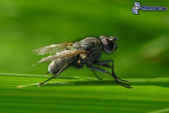 Fliege, grünes Blatt