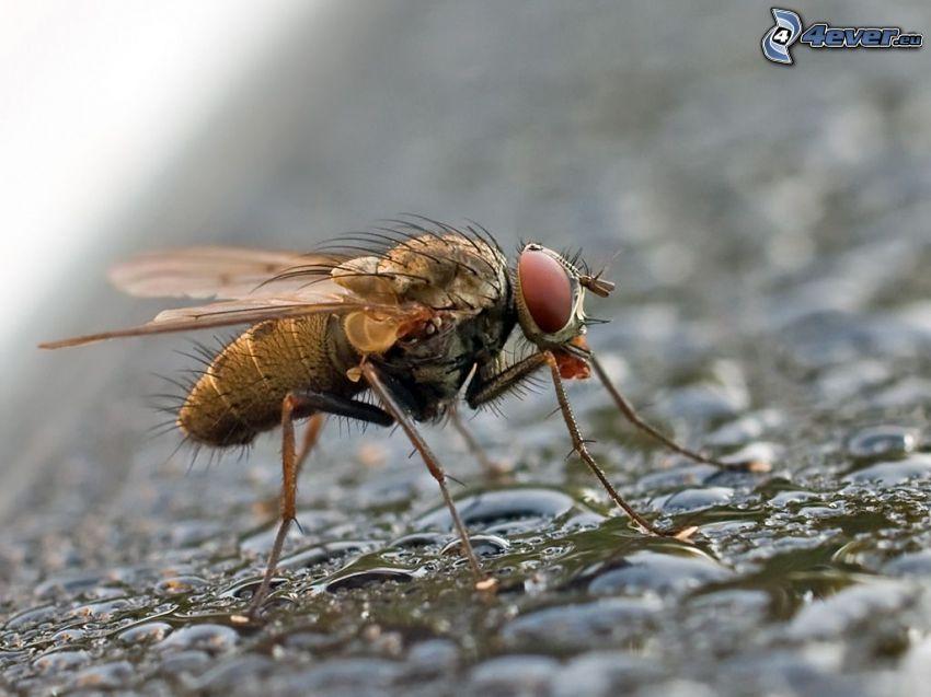 Fliege, Wassertropfen