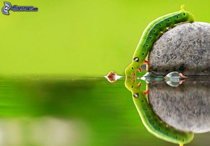grüne Raupe, Marienkäfer, Stein, Wasser, Spiegelung