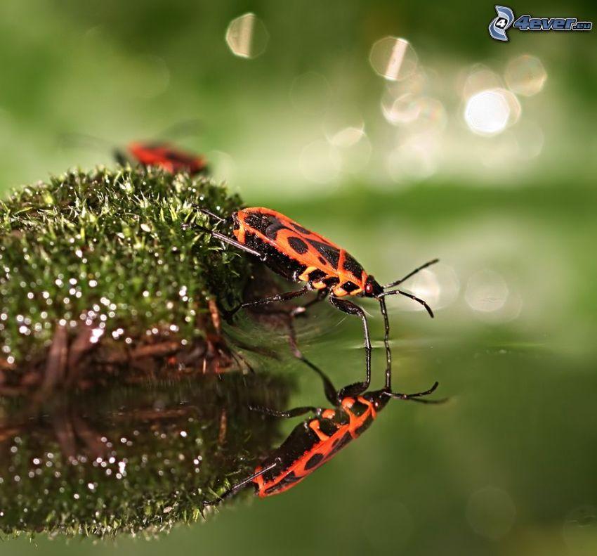 Käfer, Wasser, Spiegelung, Moos
