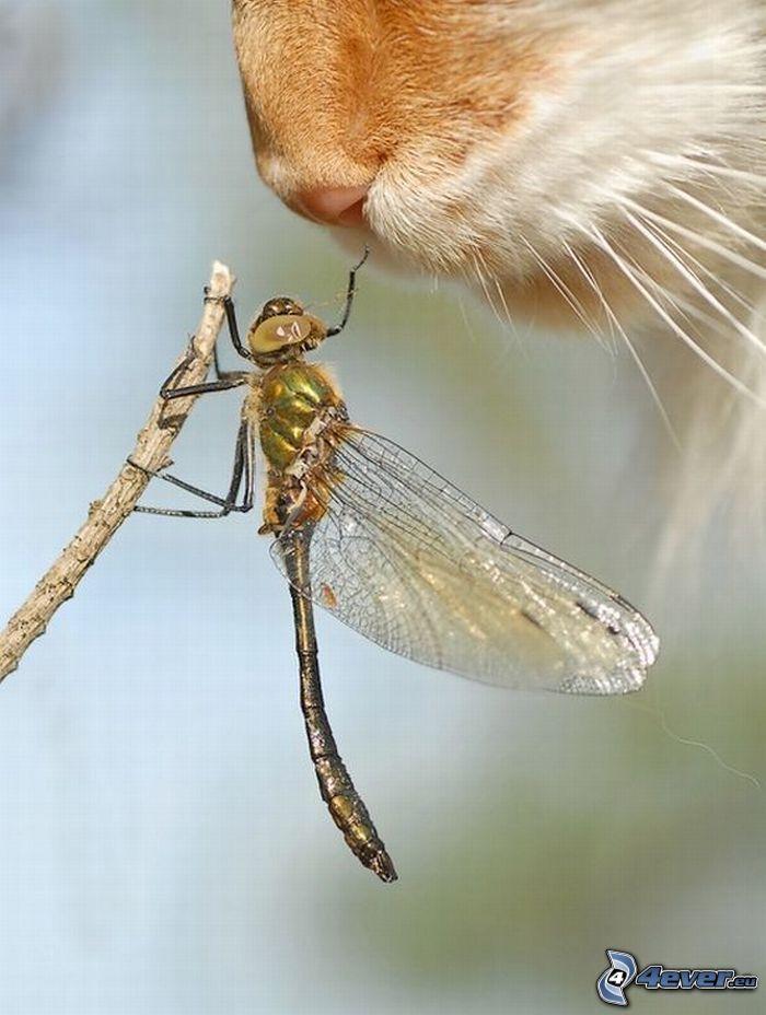 Libelle, Schnauze, Vibrisse, Katze