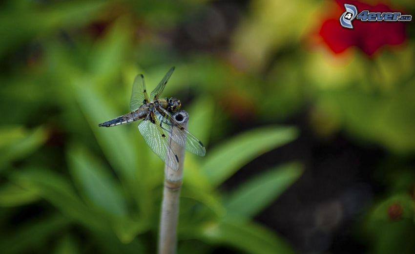 Libelle, Zweig