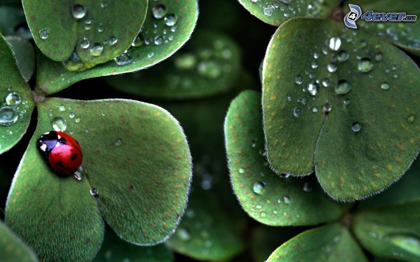 Marienkäfer, Blätter