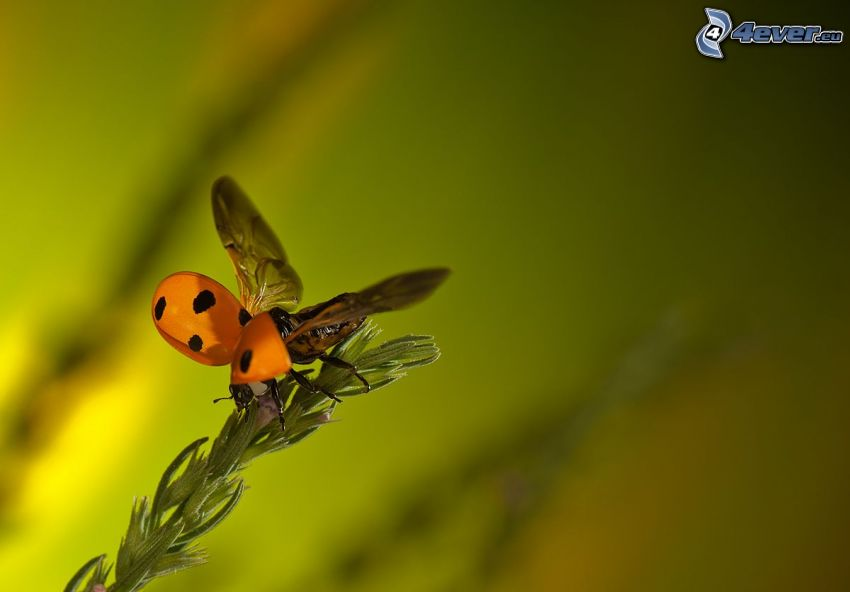 Marienkäfer, Flügel, Pflanze
