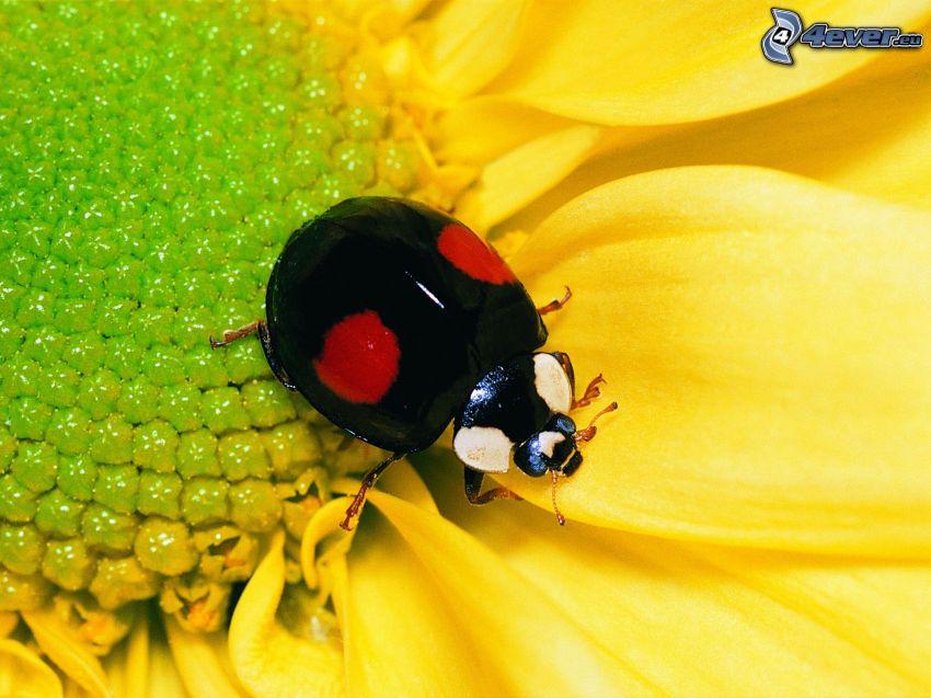 Marienkäfer, gelbe Blume, Makro
