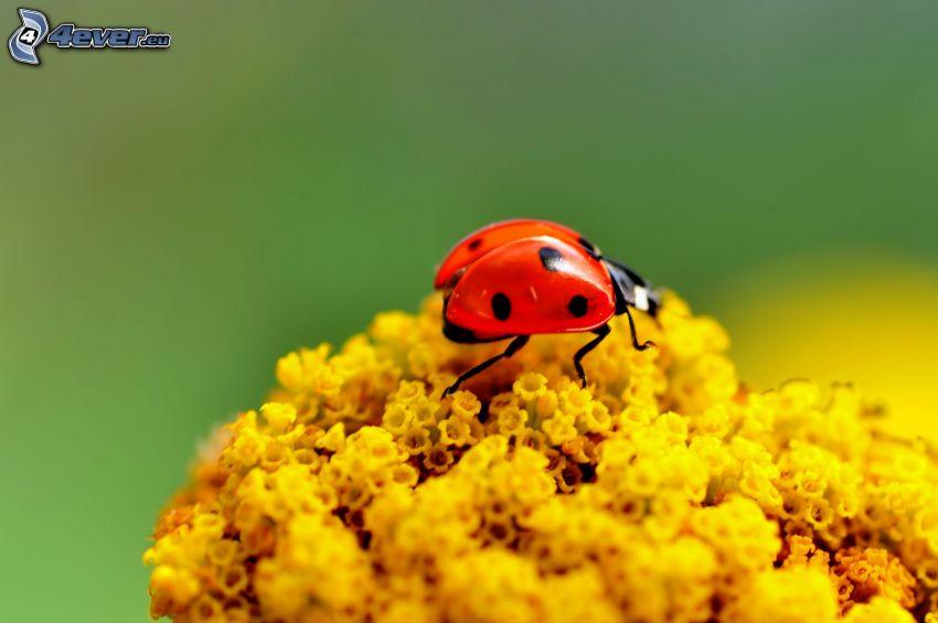 Marienkäfer, gelbe Blumen