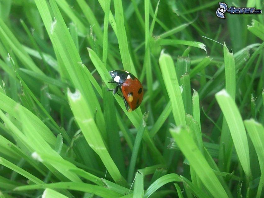Marienkäfer, Gras
