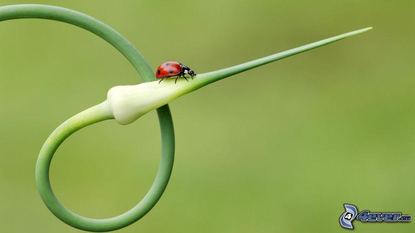 Marienkäfer, Pflanze