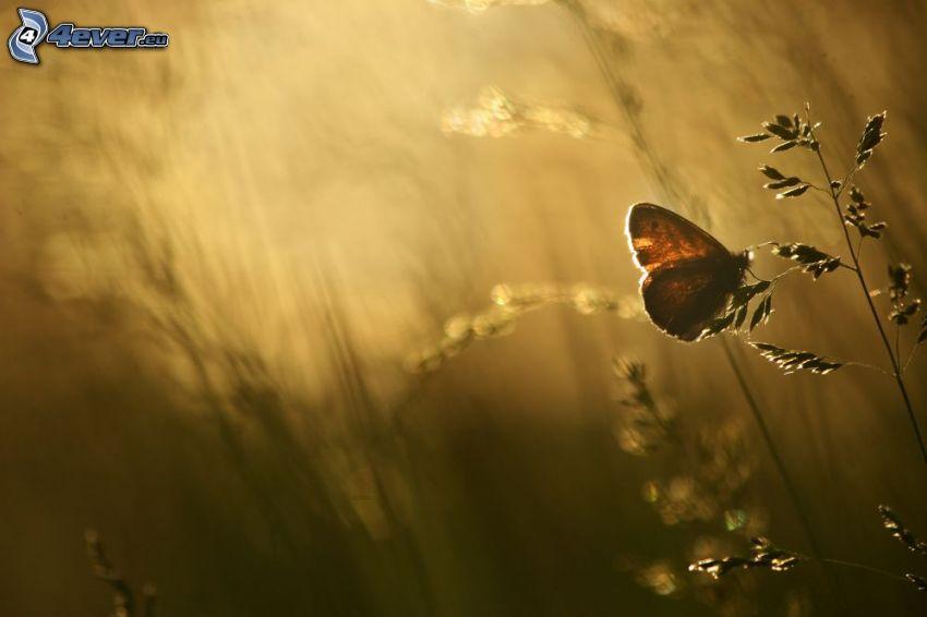 Schmetterling, Feldpflanze