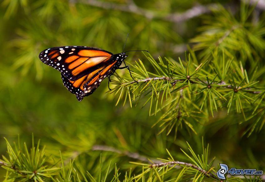 Schmetterling, Nadelästchen