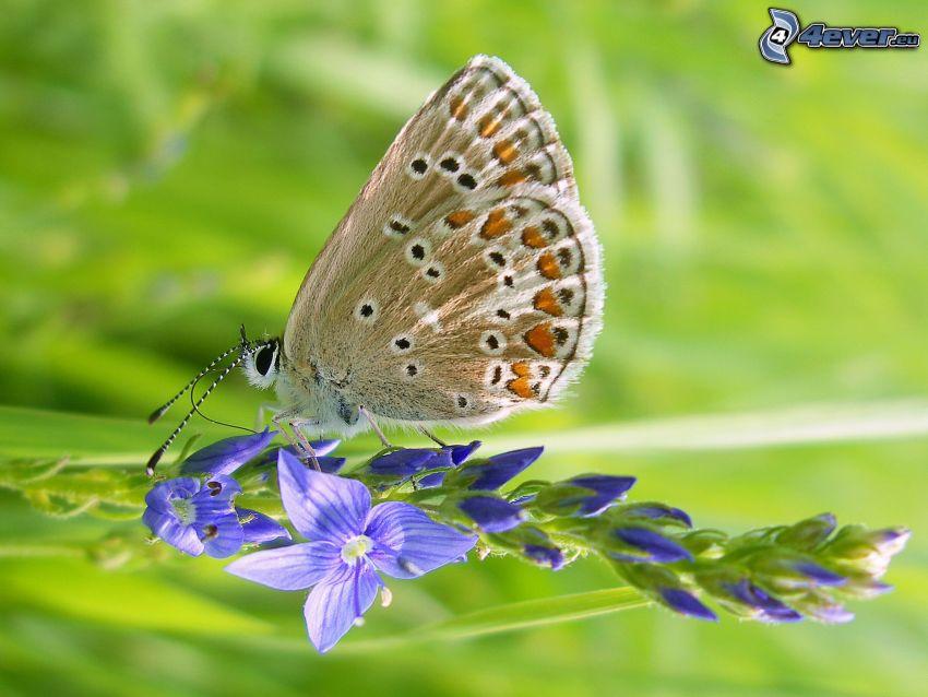 Schmetterling auf der Blume, blaue Blume, Makro