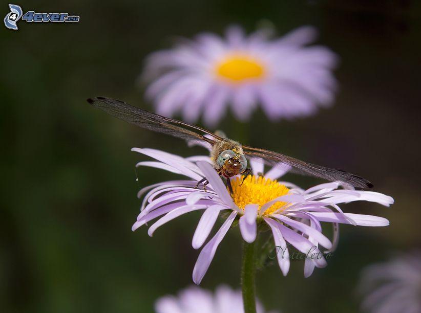 Schmetterling auf der Blume, Gänseblume