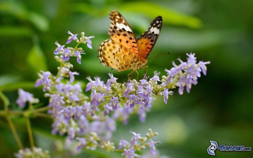 Schmetterling auf der Blume, lila Blume, Makro