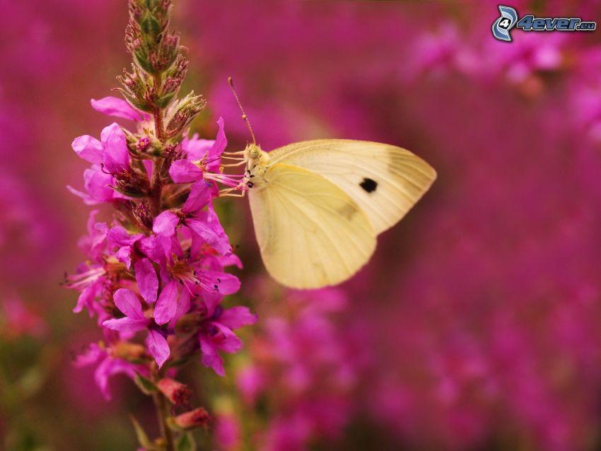 Schmetterling auf der Blume, lila Blume