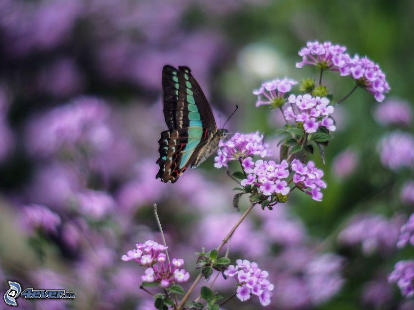 Schmetterling auf der Blume, lila Pflanzen