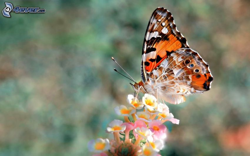 Schmetterling auf der Blume, Makro