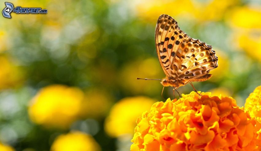 Schmetterling auf der Blume, orange Blume