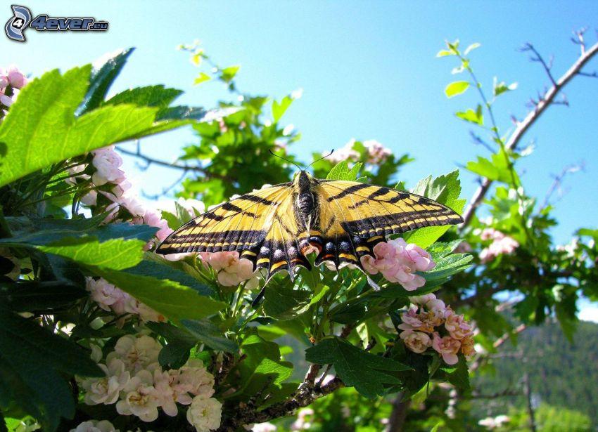 Schwalbenschwanz, Busch, weiße Blumen