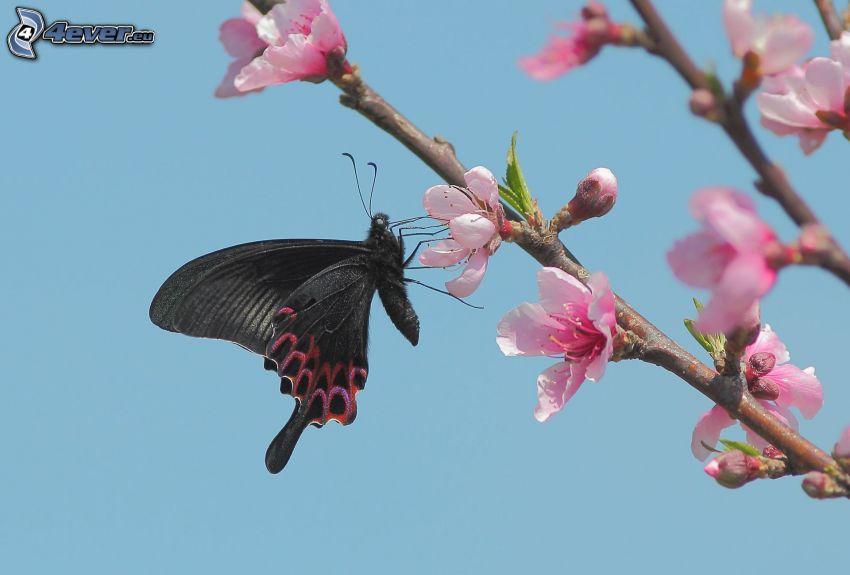 schwarzer Schmetterling, blühender Kirschbaum