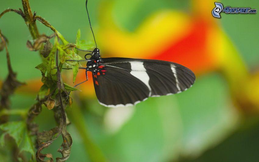 schwarzer Schmetterling, Pflanze