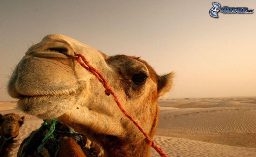 Kamel, Wüste