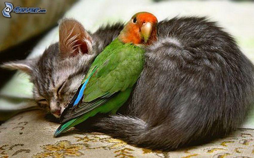 Katze, Papagei, Schlafen