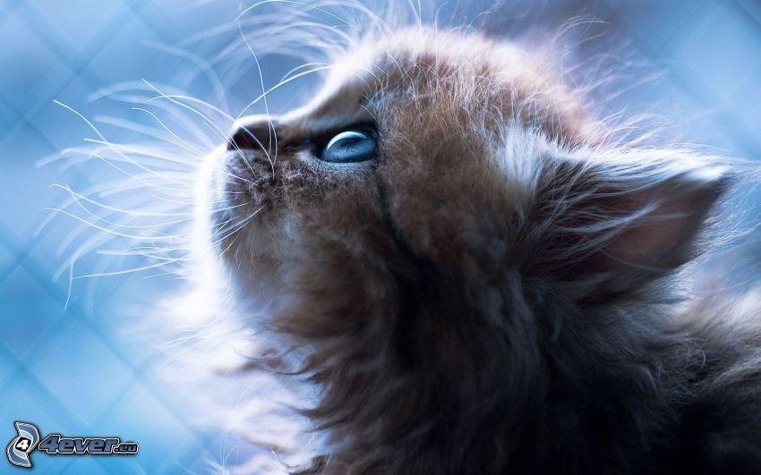 Behaarte Kätzchen, Blick