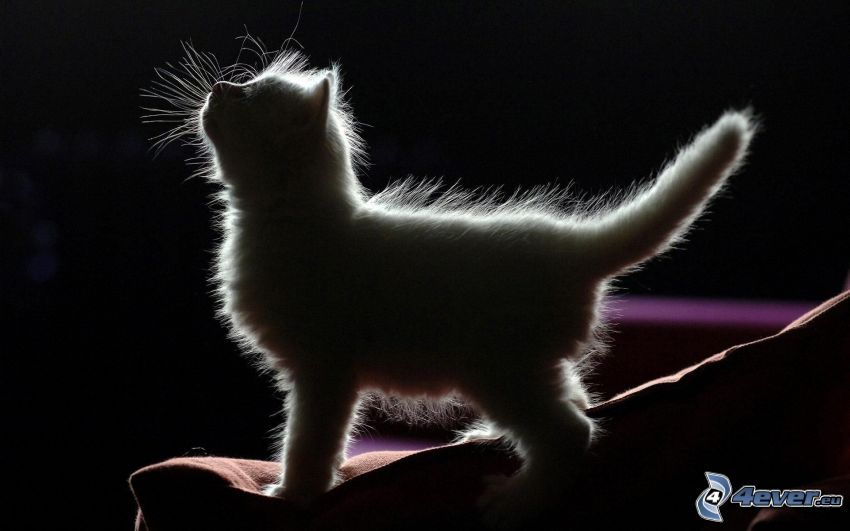 Behaarte Kätzchen