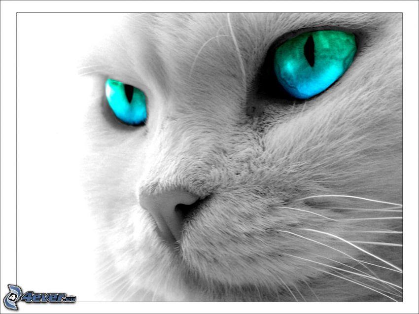 blaue Augen, Gesicht der Katze