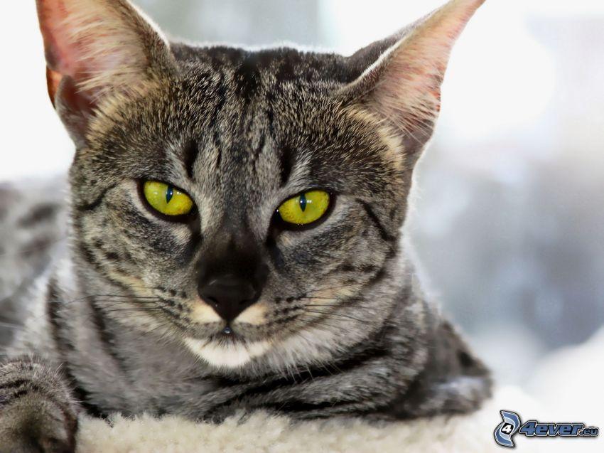Blick der Katze, graue Katze