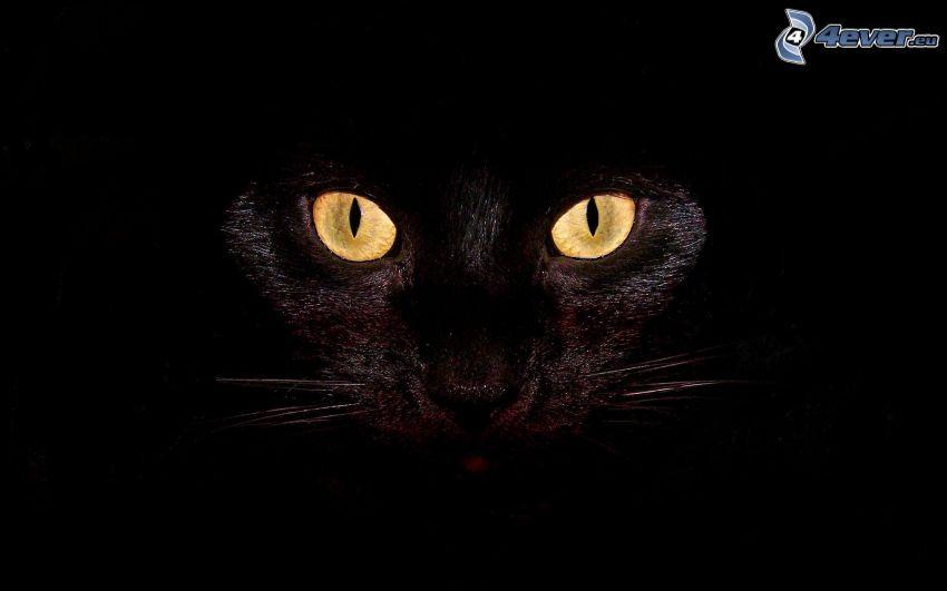Blick der Katze, schwarze Katze