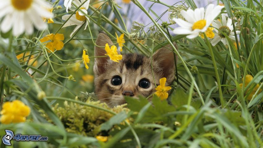 braune Kätzchen, Katze im Gras, weiße Blumen, Gras