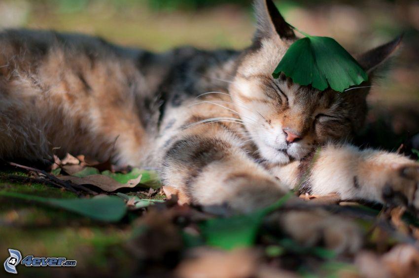 braune Kätzchen, Schlafendes Kätzchen, Blätter