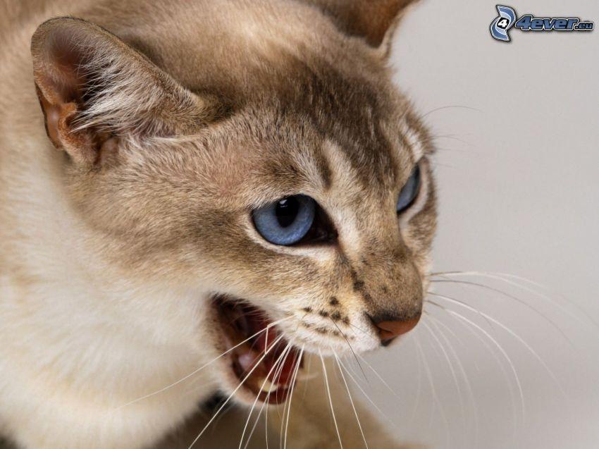 braune Katze, blaue Augen