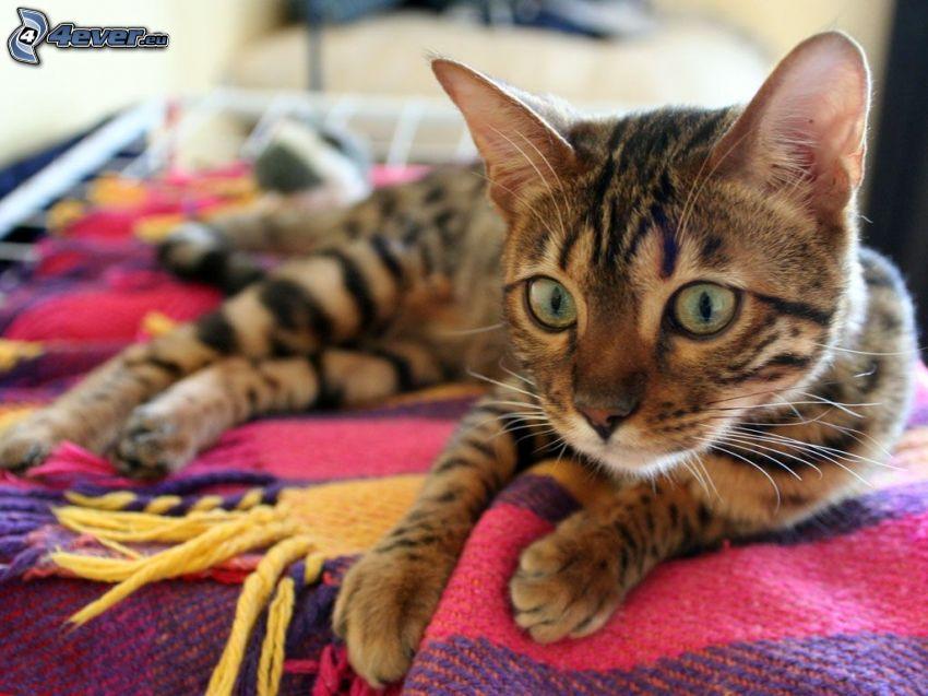 braune Katze, Blick