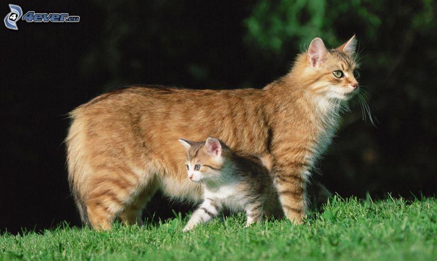 braune Katze, Kätzchen, Gras