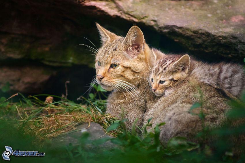 braune Katze, Kätzchen