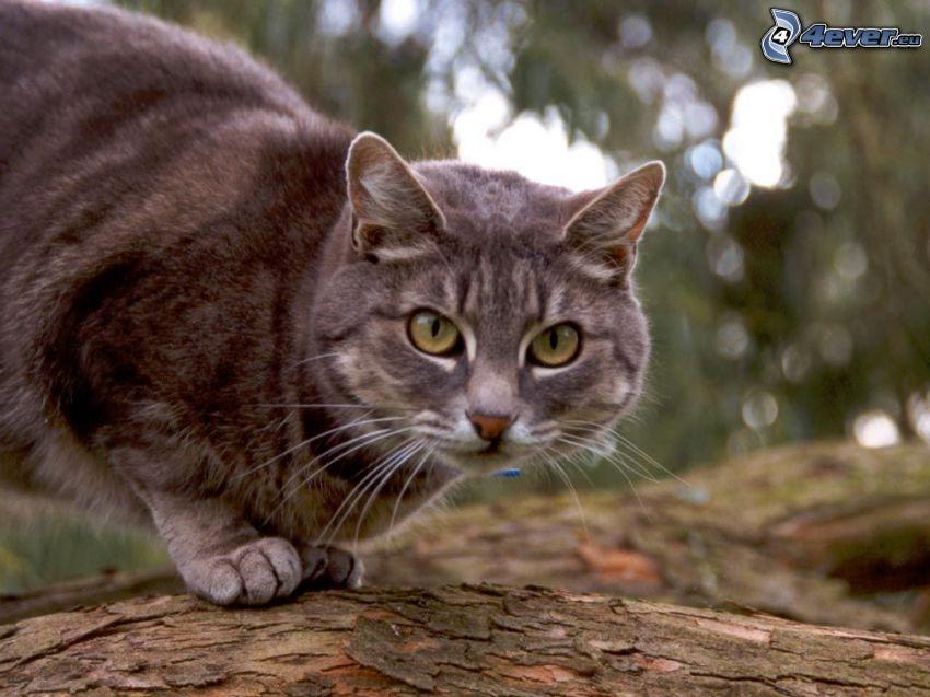 braune Katze, Katze auf einem Baum, Blick
