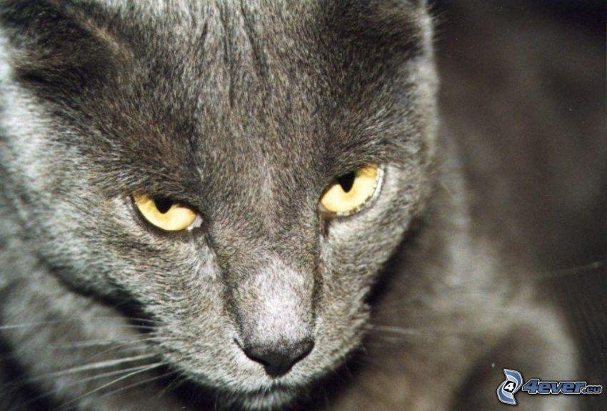 britisch Kurzhaar, graue Katze