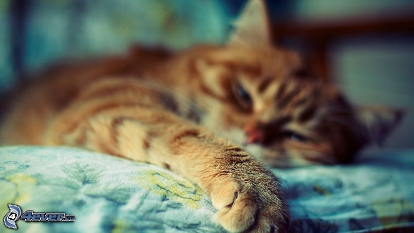 faule Katze, rothaarige Katze, Pfote
