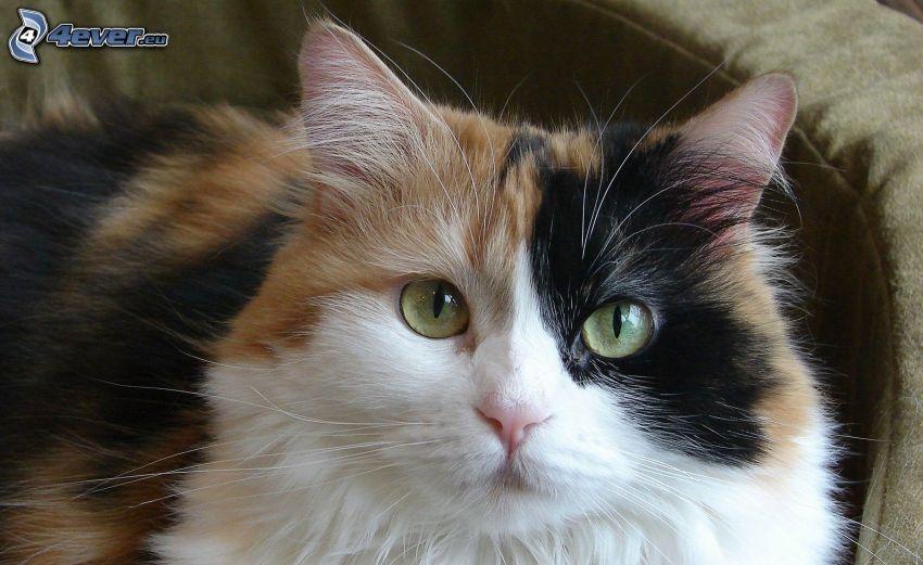 gescheckte Katze, Blick der Katze
