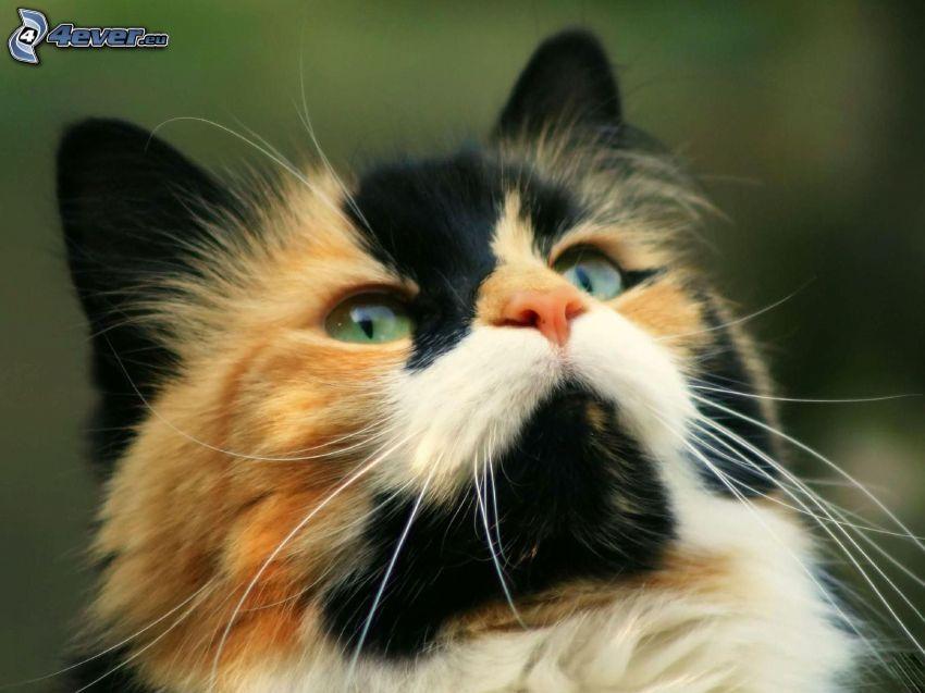 gescheckte Katze