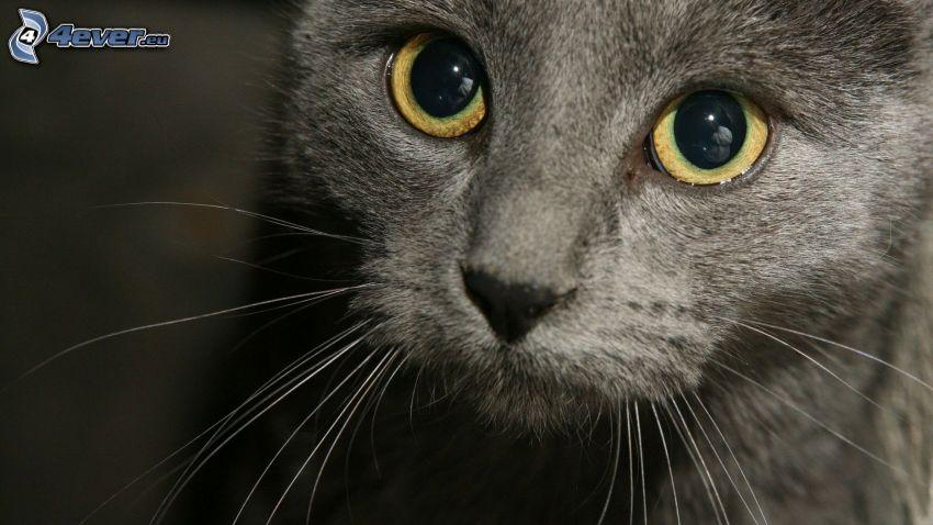 Gesicht der Katze, Augen, Vibrisse