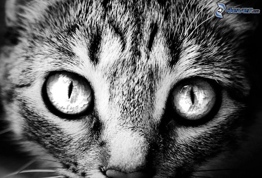 Gesicht der Katze, Augen