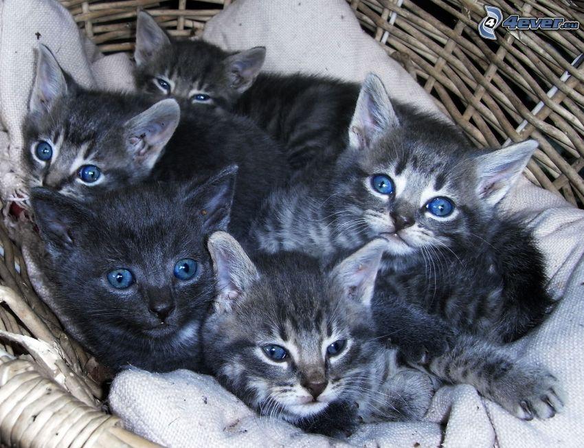 graue Kätzchen, blaue Augen