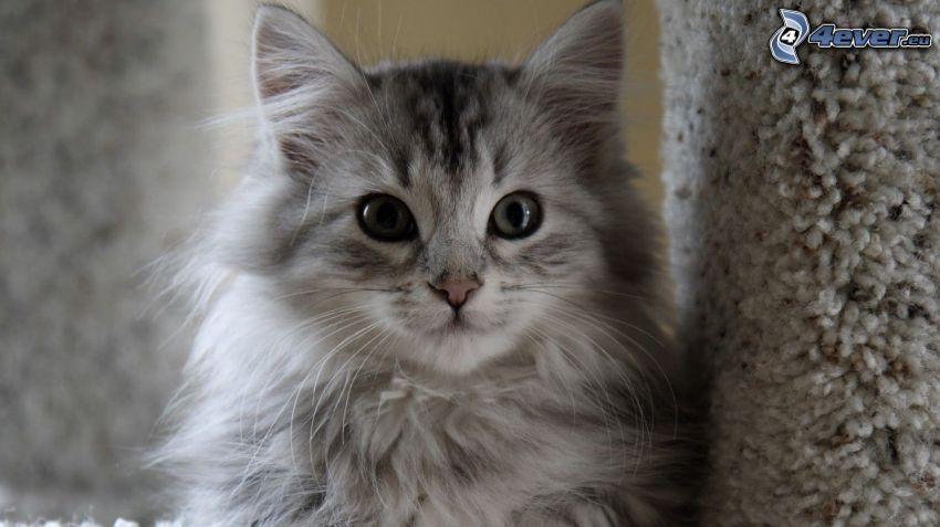 graue Katze, haarige Katze