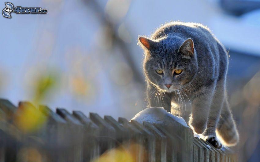graue Katze, Katze auf Zaun