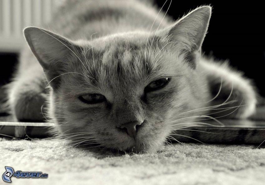 graue Katze, schwarzweiß