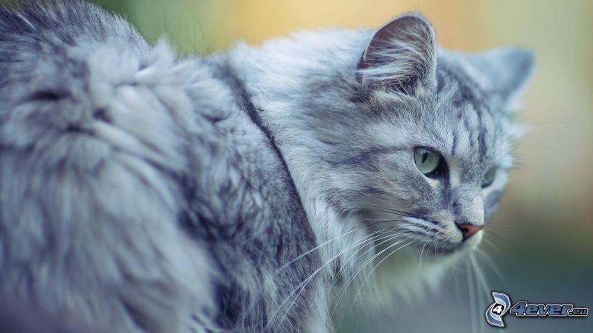 graue Katze